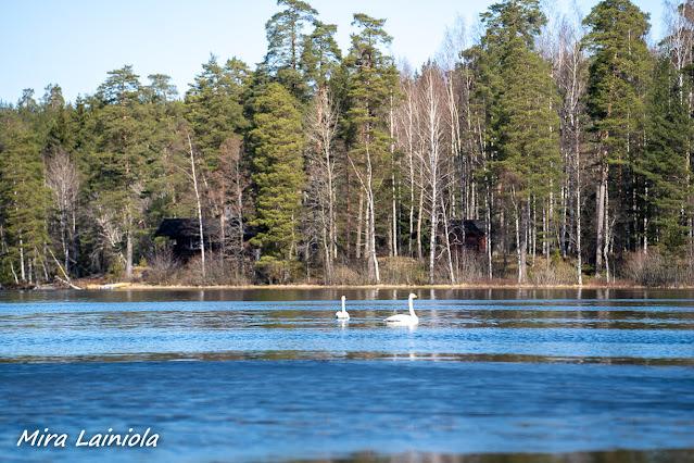Kaksi joutsenta ui järvellä. Takana on kuusimetsää ja muutama mökki.