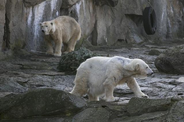 Orsi bianchi allo Zoo di Berlino