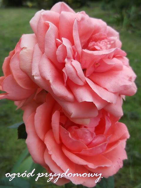 róże w ogrodzie, ogród przydomowy, róże doniczkowe