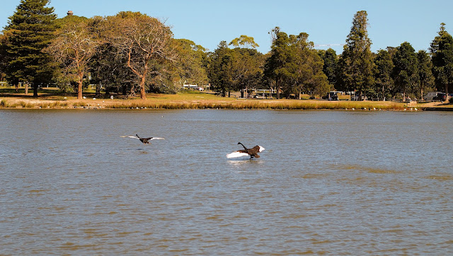 Black swans on the pond at Centennial Park in Sydney
