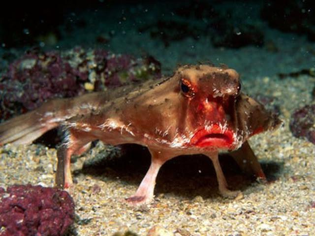 ikan kelelwar
