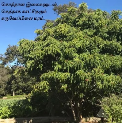 Murraya-Koenigii-Curry Leaf Tree