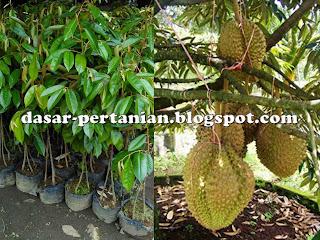 Tips Ampuh Memilih Bibit Durian Unggul dan Berkualitas