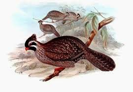 Long tailed Wood-partridge
