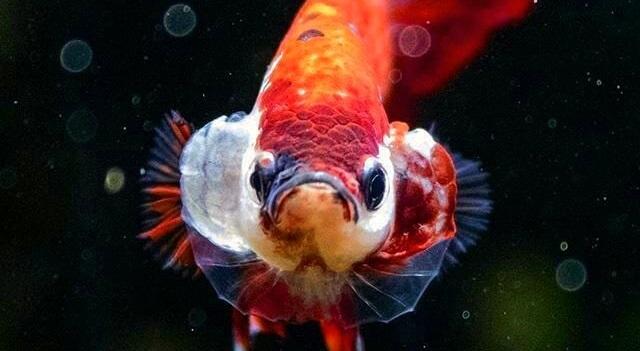 Jenis Ikan Cupang - Ikanhiasku.net