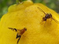 Simak, Tips Membasmi Lalat Buah Pada Tanaman Jeruk