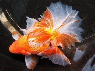 Ikan Mas Koki Tosakin