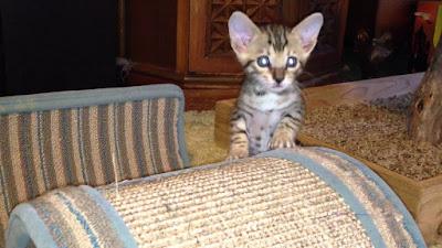 F6 savannah cat Personality, Size, Adoption, Cost