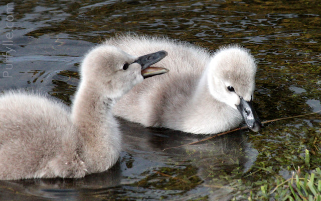 pair of black swan cygnets talking to each other