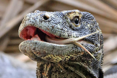 Komodo Dragons in Komodo National Park
