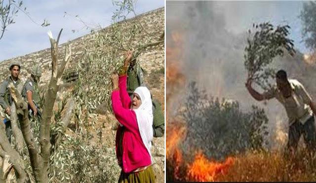 Tentara Israel Usir Petani Zaitun Palestina dari Kebunnya