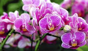 Merawat Bunga Anggrek dalam rumah