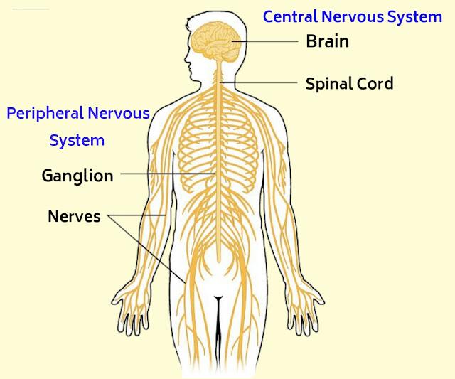 मानव तंत्रिका तंत्र की परिभाषा, प्रकार, कार्य और मस्तिष्क के कार्य, nervous system