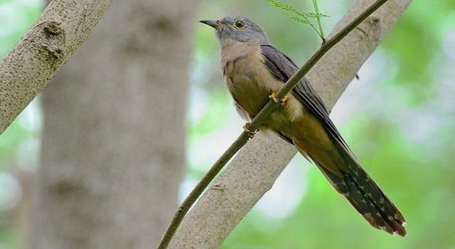 Mitos burung kedasih 3