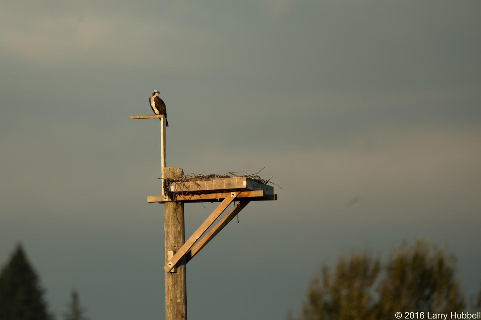 Laurelhurst Blog: All About Osprey At Union Bay