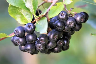 gambar buah aronia berries atau chokeberry