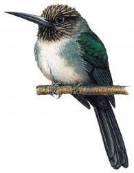 Jacamaralcyon tridactyla