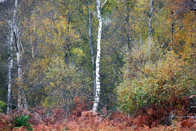 Holme Fen autumn leaves surround a single young silver birch at Holme Fen