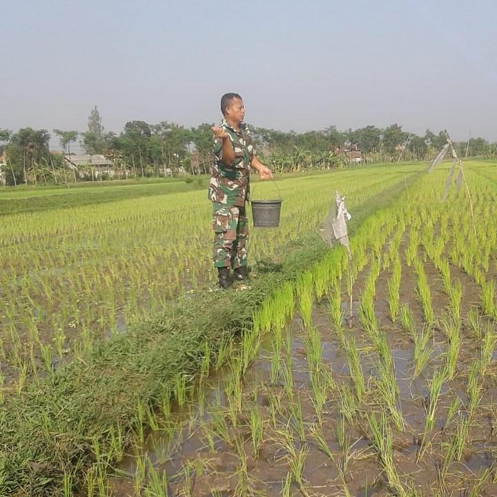 Babinsa Desa Karanglo Bantu Petani Pupuk Bibit Padi