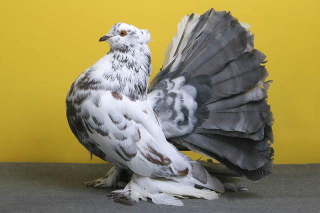 Merpati Kipas (Fantail)