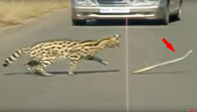 See how this puff adder snake escapes from the claw of an African cat