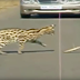 An intense fight between a wildcat and a puff adder snake! Who do you think won?