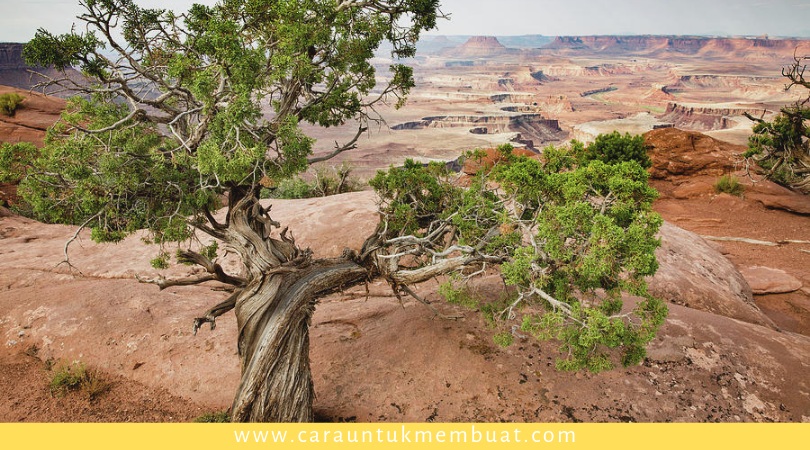 Juniper Tree on Canyonlands 9