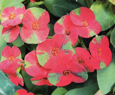 Euphorbia Cantik