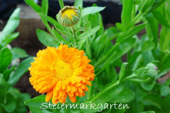 Ringelblume-Steiermarkgarten