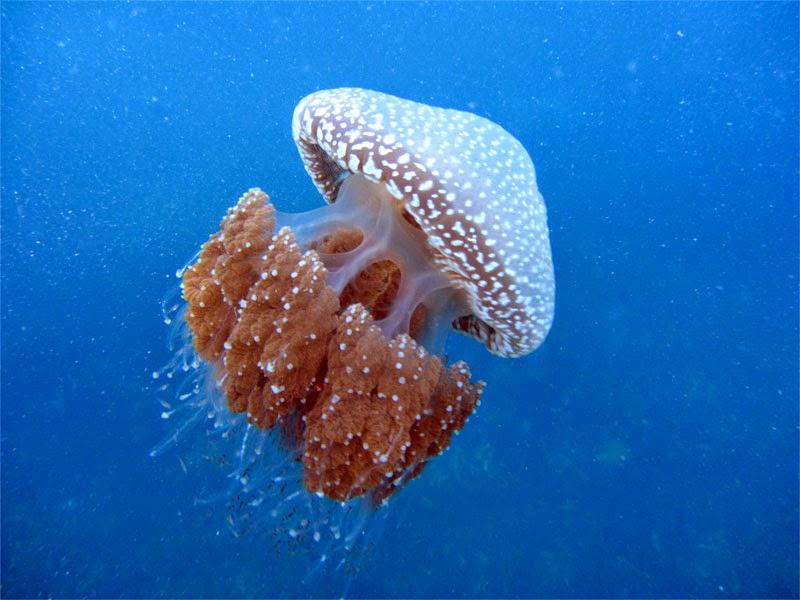 Aquatichyk White Spotted Jellyfish Phyllorhiza Punctata