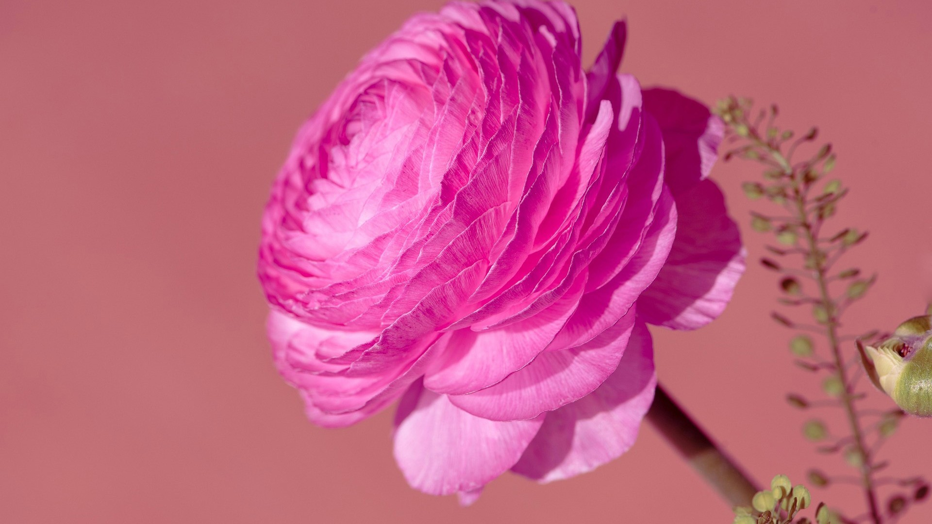 pink ranunculus flower in pink background HD Wallpaper