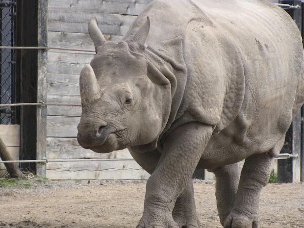 ' Draw Endangered Species Rhino Javan