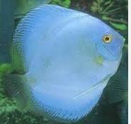 Ikan Hias Air Tawar Termahal Discus Albino Bulldog Blue Diamond