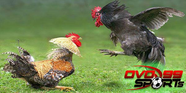 Untuk Petarung Ayam Bangkok Bisa Dengan Jenis Pakan Ini