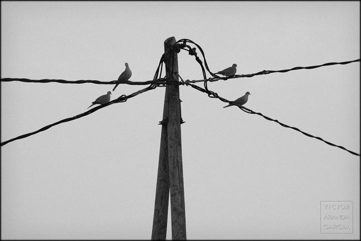 fotografia,tortolas,cables,fuente_alamo,naturaleza,aves