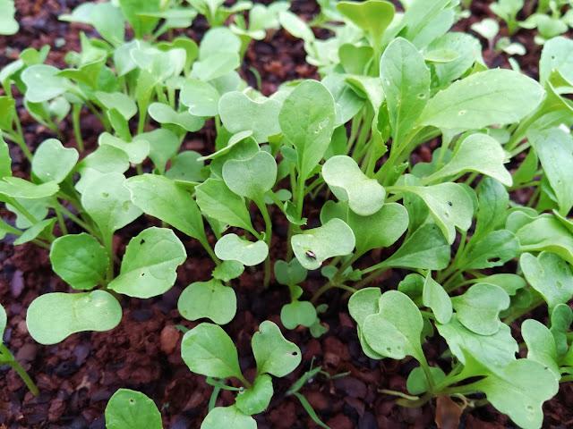 cách trồng rau mầm cải ngọt