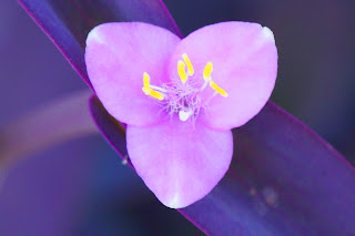 Tradescantia Pallida - Purple Heart Flower