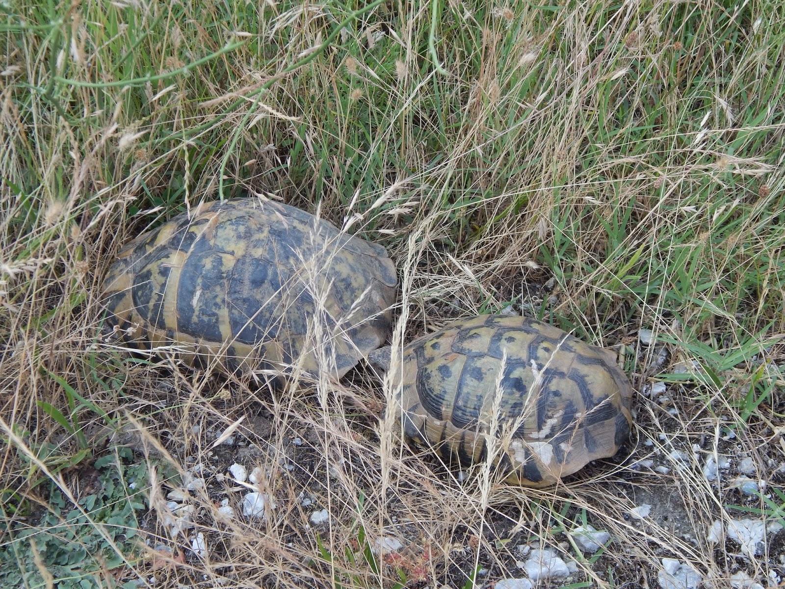 suchozemské želvy v Řecku