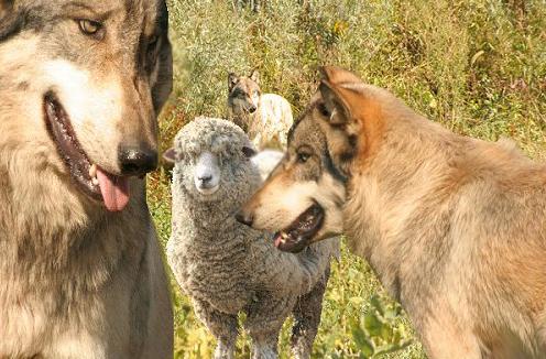 Menjadi Domba Ditengah Serigala