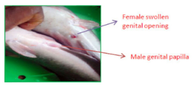 """alt: = """"photo showing how to identify male and female fish brood stock"""""""