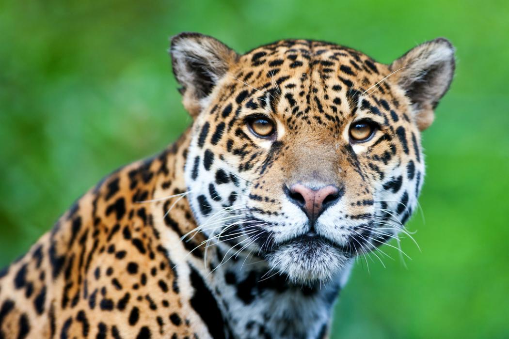 El Jaguar mexicano
