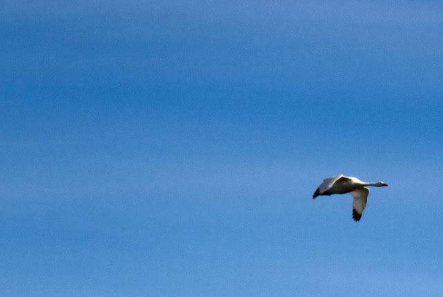 Birds of Patagonia: coscoroba swan in flight