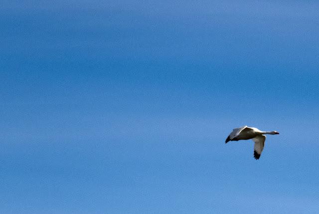 Birds of Patagonia: coscoroba swan in flight