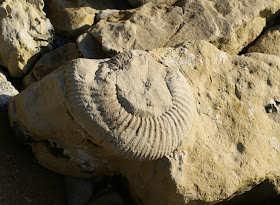 Fossil on Portland beach, Dorset