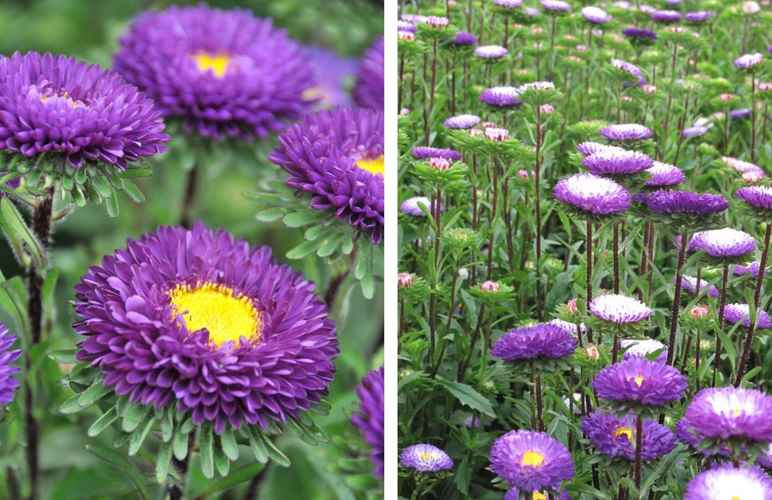 the star power of matsumoto asters  flower talk, Beautiful flower