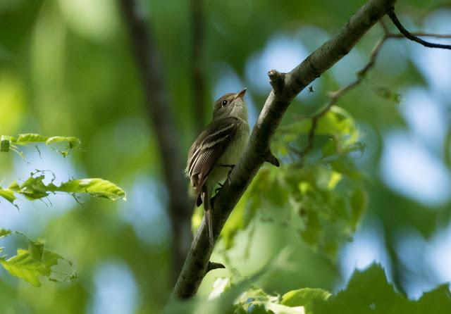 Least Flycatcher - Hulbert Bog, Michigan, USA