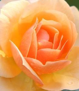 Mawar peach melambangkan rasa rindu