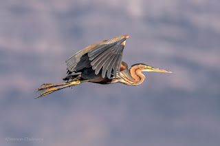 Purple Heron in Flight - Woodbridge Island, Cape Town