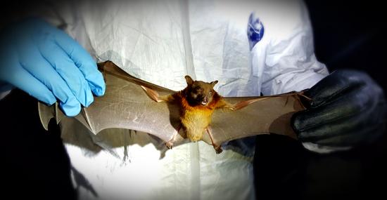 Outro Vírus de morcego mata menino na Índia e autoridades tentam conter surto - Capa