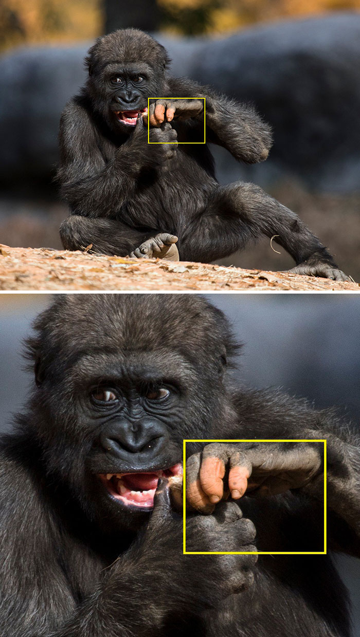 Zoo Atlanta Gorilla Born With A Lack Of Pigmentation On Her Fingers Surprises People